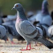 Anti-pigeons